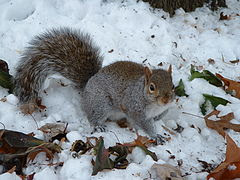 Grey squirrel in snow