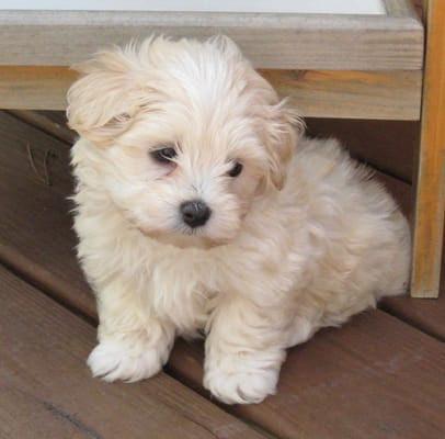 Maltipoo Puppies For Sale New Hampshire USA