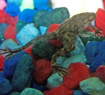 African Dwarf Frog Aquarium Lovers