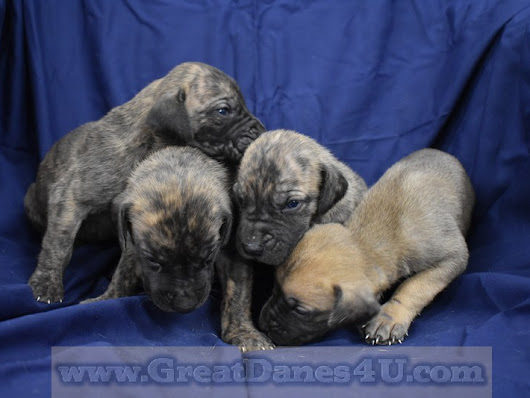 Great Dane Puppies For Sale In Springfield, Marshfield Missouri - Great Danes4U