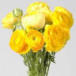 Yellow Ranunculus 100 stems