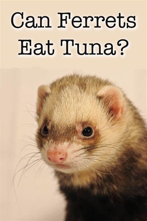 ferrets eat tuna fish safely  part   diet