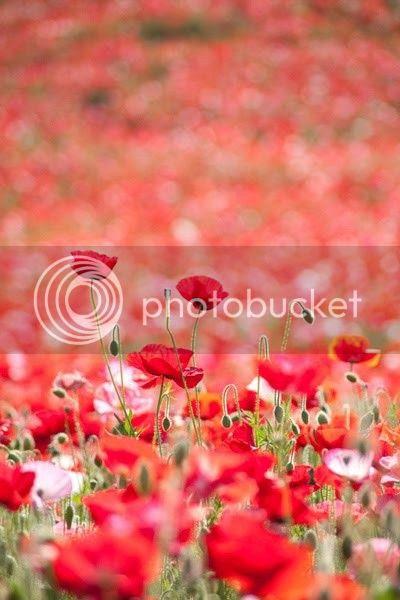 campo di papaveri poppy field