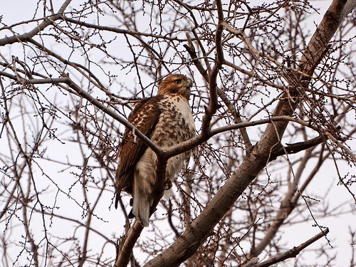 Juvenile Red-Tailed Hawk (6200)