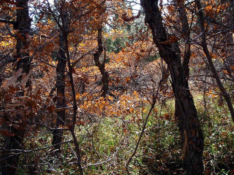 Oak brush, scrub oak, Gambel oak, it's all the same, Waterton Canyon, Colorado