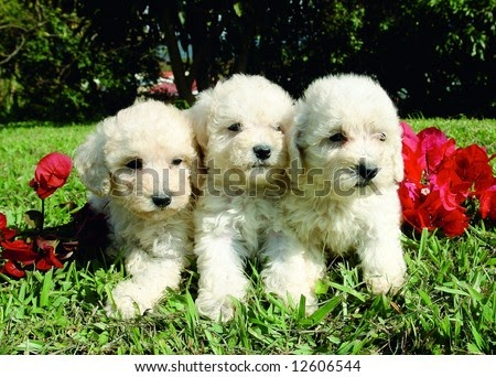 Miniature Schnauzer Puppies Poodle Puppies Funny