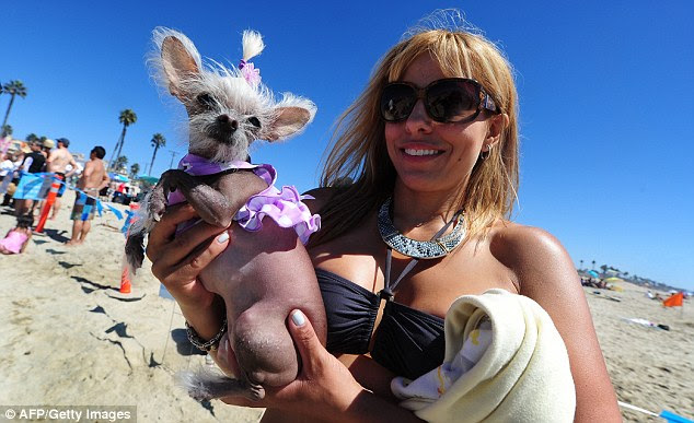 Too cool to compete: Spectator Jennifer took her hairless Chihuahua 'Schmiegelle' to see the surf dogs, but was she too dolled up to get her paws wet