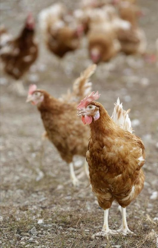 Are your chickens talking about you? - The Boston Globe