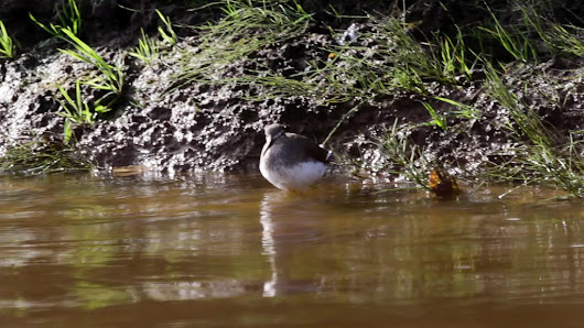Green Sandpiper-141.mp4