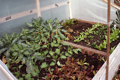 Thanksgiving day cold frame  047