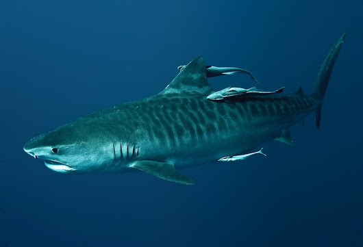 So that's a Tiger shark then. How very large and stripey.