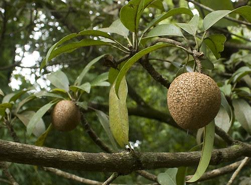 Chickoo or Sapota Fruit