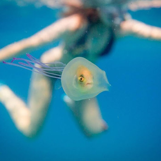 Byron Bay fish captures global attention for hitching ride in jellyfish