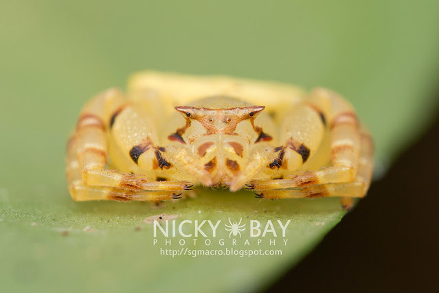 Crab Spider (Thomisidae) - DSC_5126
