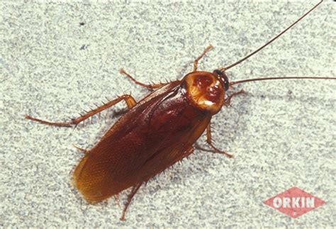 American Cockroach Identification & Control: Get Rid of American Cockroach