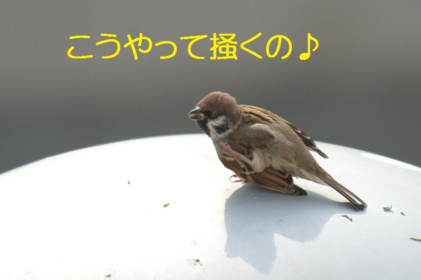 すずめさんのおやど 頭を掻く 鳥さん達
