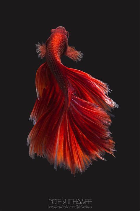 red halfmoon red halfmoon betta fish ikan cupang binatang binatang lucu