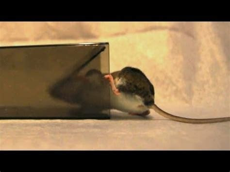 """MiceCube"" Live Mouse Trap In Action   Full Review   Phim SEX HAY, Em Gái Múp Vãi"