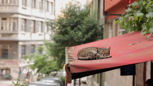 The Alley Cats of Istanbul