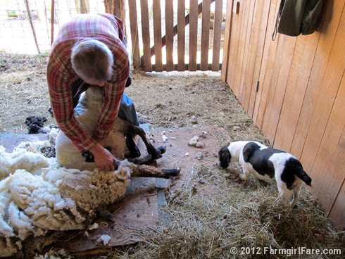 2012 Sheep shearing day 26 - FarmgirlFare.com
