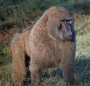 babuino  Babuino babuino