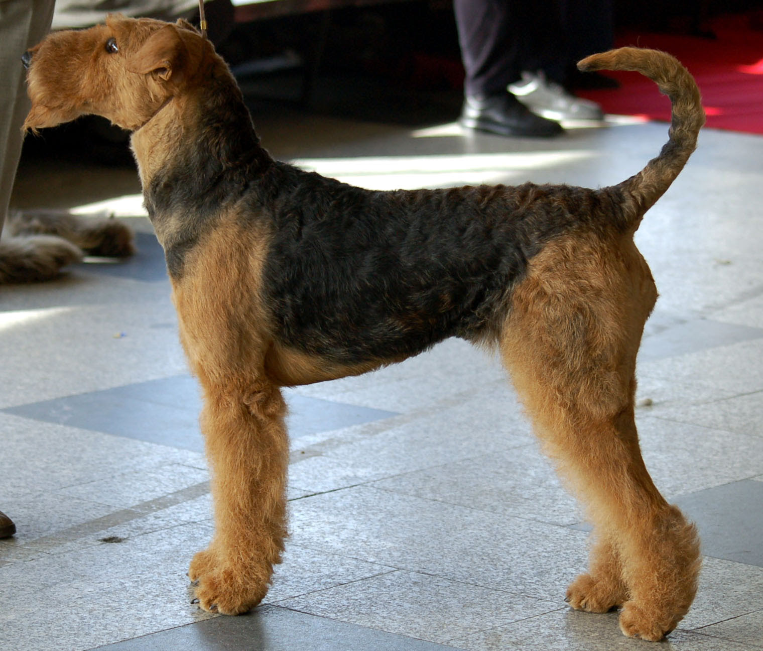 Ultimate Dog: Dog Breeds: Airedale Terrier