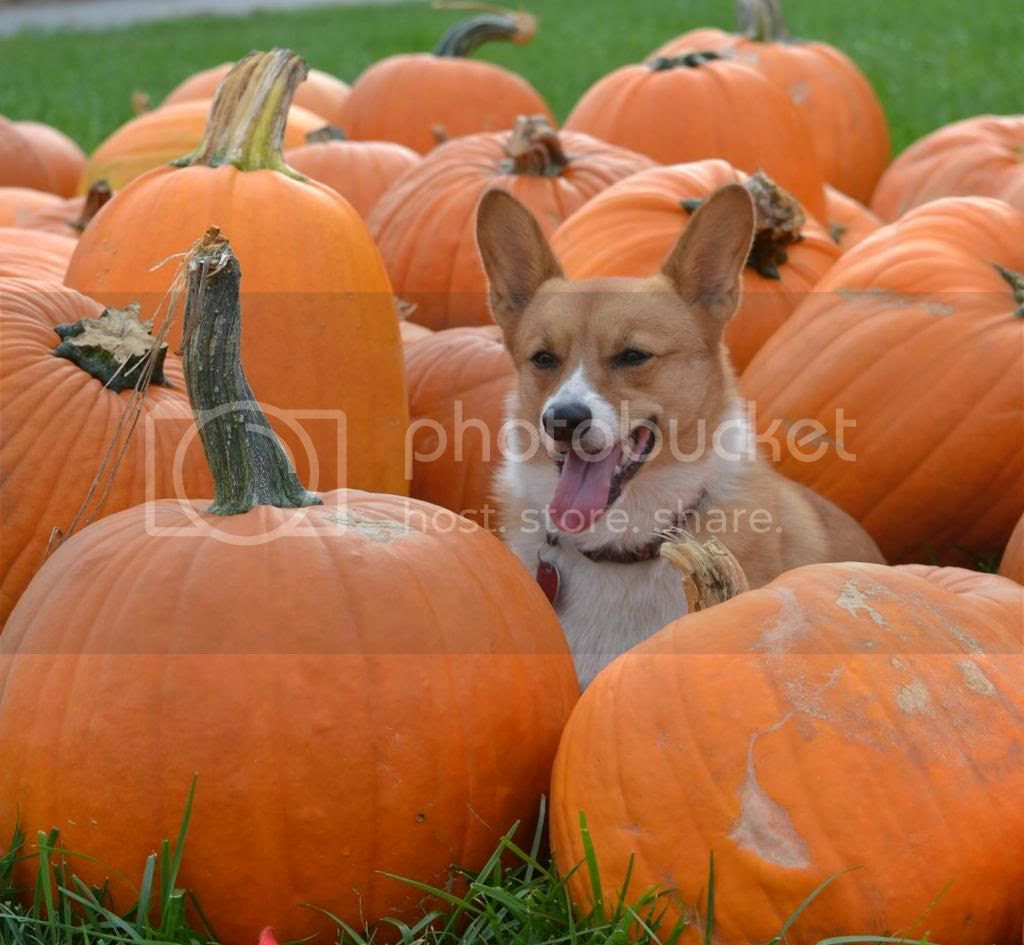 Corgi Dog in Pumpkin Patch