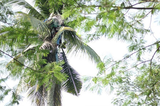 Filipino Man Rescued After Spending Three Years Atop 60-Foot-Tall Coconut Tree