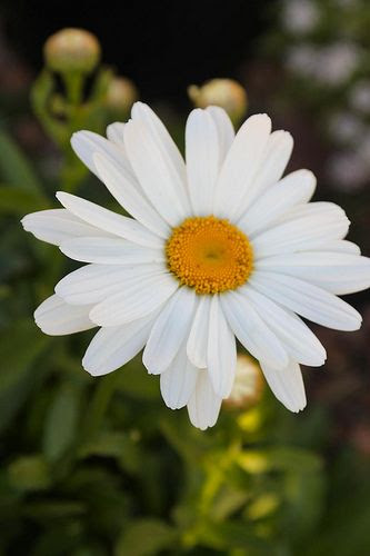 From Aunt Sandy- Shasta Daisy