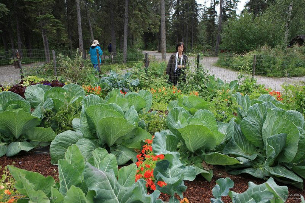 Você sabe por que os vegetais do Alasca são gigantescos? 09