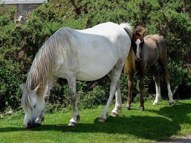 24704 - Gower Ponies