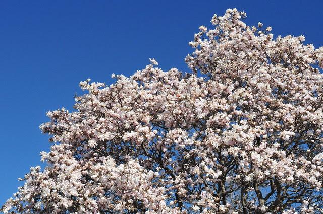 Magnolia at the Arb (DS3_8642)