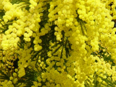 Mimosa Flower is a Symbol for International Women's Day March 8th