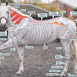 Horses Inside Out, Service Paints Anatomy on Live Horses to Educate People Who Work with Horses