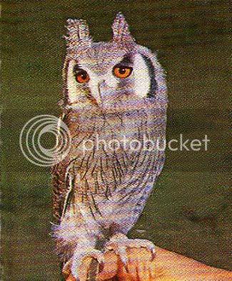 Pg10-5, WHITE-FACED OWLET
