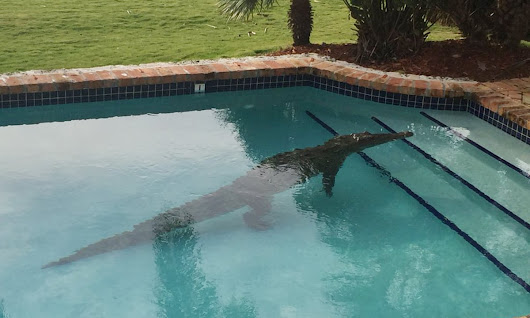 Crocodile found taking a dip in Florida Keys backyard pool