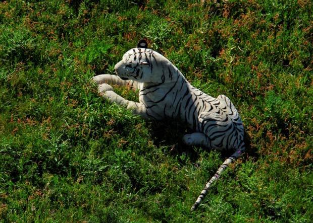 Em maio de 2011, um tigre de pelúcia desencadeou uma grande operação da polícia inglesa. A operação contou até com ajuda de helicópteros. As autoridades temiam que fosse um animal selvagem que tinha escapado, mas descobriram que era um tigre de brinquedo. (Foto: Hampshire Constabulary/AP)