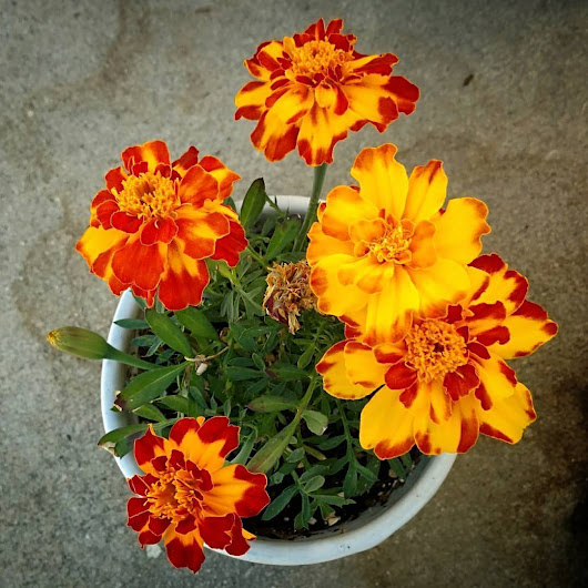 Companion plant #marigold #flowers #gardening... - V is for Viper