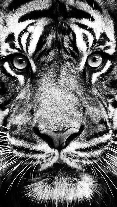 photo noir  blanc portrait de tigre gros felin tiger