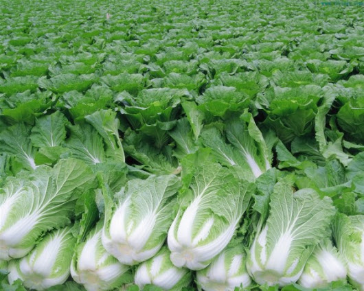 Chinese Cabbage Farming Information | Agrifarming.in