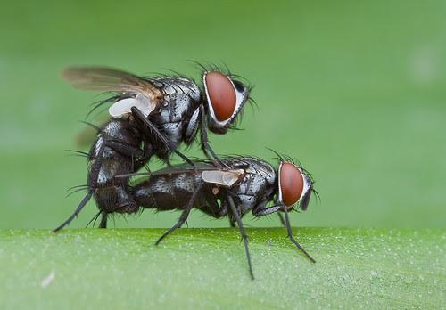 bugs porn mating flies IMG_0192 copy