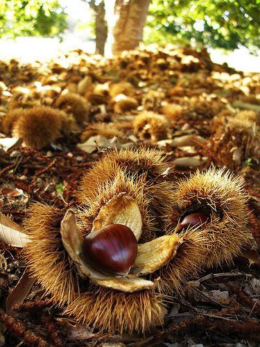Autumn Chestnut Harvest