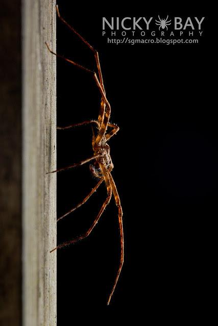 Nursery Web Spider (Pisauridae) - DSC_8631