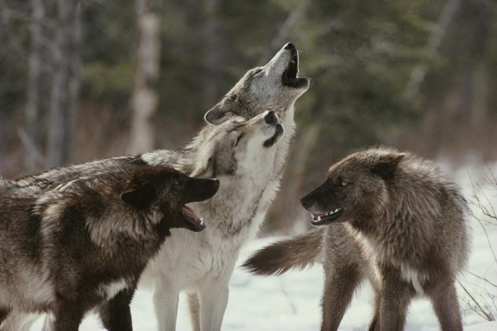 El Mundo Del Lobo Animales El Mundo De Los Animales