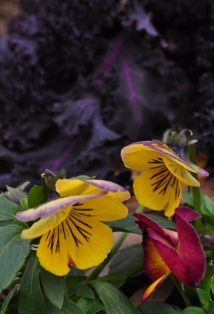 Viola x 'Radiance Red' (2)