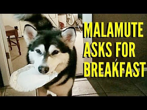 Image : Malamute Asks For Breakfast!! | The Adventures of Tonka the ...