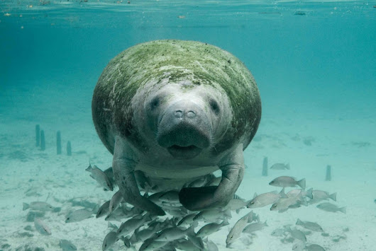 9 Really Cool Facts About Manatees - 30A