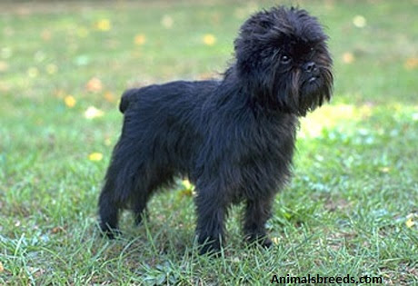 Affenpinscher  Puppies, Rescue, Pictures, Information, Temperament, Characteristics  Animals