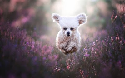 Download wallpapers white poodle, curly white dog, pets, jump, running dog, cute dog animals besthqwallpapers.com