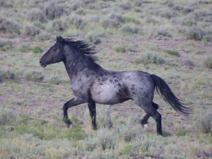 Pets crow's-roan horse